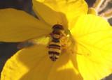 Allograpta obliqua/exotica complex; Syrphid Fly species