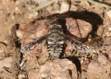 Lepidanthrax Bee Fly species