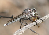 Promachus nigrialbus; Giant Robber Fly species; male