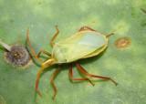 Leatherbugs