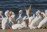 American White Pelicans; basic