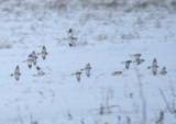 Snow Buntings; basic
