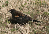 Red-winged Blackbird; winter male