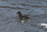 White-winged Scoter; male