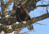 Rough-legged Hawk; juvenile dark morph