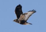 Rough-legged Hawk; light morph juvenile