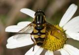 Helophilus fasciatus; Syrphid Fly species