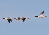 Common Mergansers; males