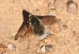 Anastoechus Bee Fly species