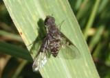 Anthrax pauper; Bee Fly species