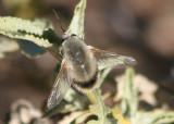 Anastoechus hessei; Bee Fly species