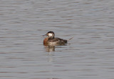 Ruddy Duck; transitional male