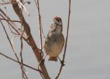 Swamp Sparrow; breeding