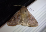 10495 - Orthosia hibisci; Speckled Green Fruitworm Moth