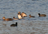 Long-tailed Duck; transitional female with American Coots, Gadwall, and Bufflehead