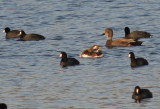 Long-tailed Duck; transitional female with American Coots and Gadwall