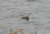 Long-tailed Duck; transitional female