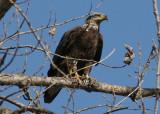 Bald Eagle; 3rd year