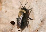 Andrena carlini; Carlin's Andrena