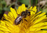 Andrena Mining Bee species