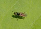 Bicellaria Hybotid Dance Fly species