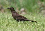 Common Grackle; immature