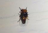 Simulium Black Fly species; male