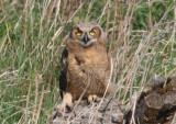 Great Horned Owl; juvenile