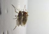 Procladius bellus; Midge species; female