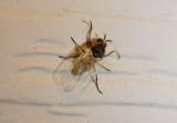 Simuliidae Black Fly species