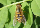 Parhelophilus Syrphid Fly species