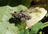 Tachinomyia Tachinid Fly species