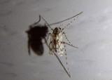 Ablabesmyia Midge species; female