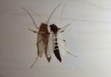 Stictochironomus Midge species; female