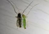 Chironomini Midge species; female