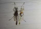 Coelotanypus concinnus; Midge species; male
