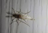 Sayomyia Phantom Midge species; male
