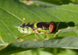 Odontomyia cincta; Soldier Fly species; male