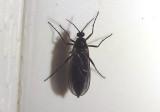 Sciaridae Dark-winged Fungus Gnat species