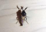 Forcipomyia Biting Midge species; male