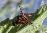 Rivellia Signal Fly species; mating pair