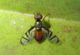 Rivellia Signal Fly species