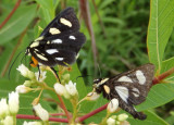 9314 - Alypia octomaculata; Eight-spotted Foresters