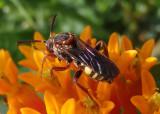 Nomada erigeronis; Cuckoo Bee species; female