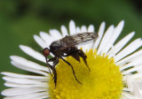 Empis clausa; Dance Fly species
