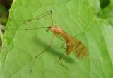 Bittacus strigosus; Hangingfly species