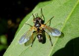 Hemyda aurata; Fly species