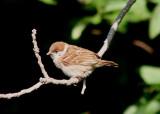 Eurasian Tree Sparrow; juvenile; exotic