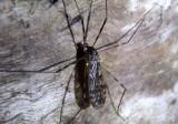 Limonia immatura; Limoniid Crane Fly species