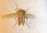 Sayomyia Phantom Midge species; female